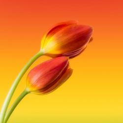 Colorful Tulips V1 - Fine Art
